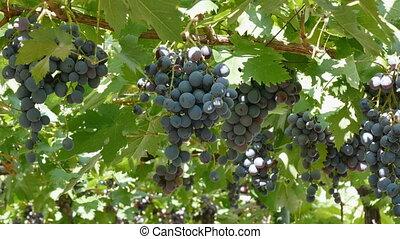 Farmer picking black muscat grape fruit from vine, grape...