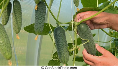 Farmer picking cucumbers in the warm house - Close-up shot...