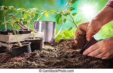 Farmer planting tomatoes seedling in organic garden