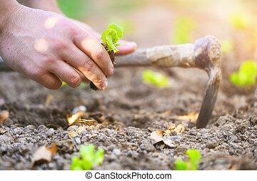 Farmer planting young seedlings of lettuce salad.