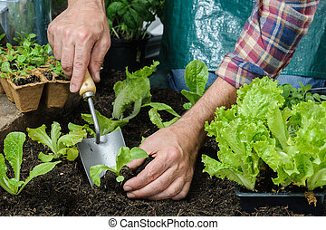 Farmer planting young seedlings of lettuce salad in the ...