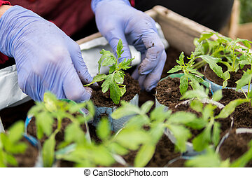 Farmer planting young seedlings of tomatoes