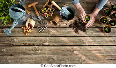 Farmer planting young tomatoes seedlings on wooden table
