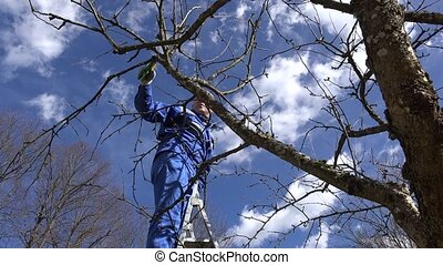 Farmer pruning fruit tree twigs in orchard standing on high ladder
