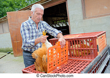 Farmer putting live chicken into plastic container