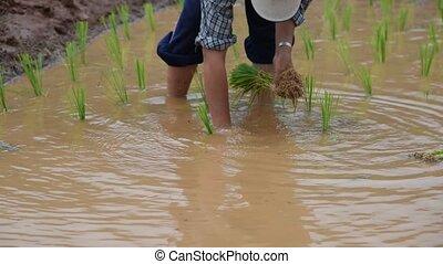Farmer rice seedling.