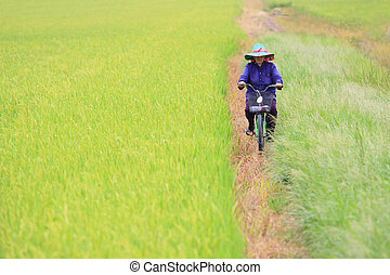 farmer riding bicycle on rice paddy field