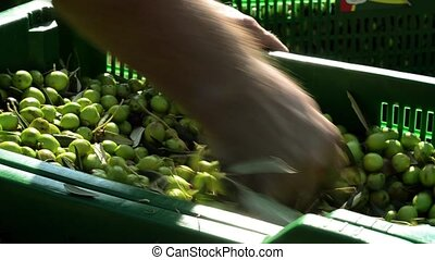 Farmer selecting olives