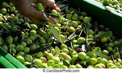 Farmer selecting olives