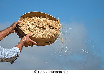 Farmer sifts grains during harvesting time to remove chaff -...