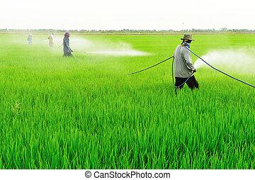 farmer spray pesticide on the rice field