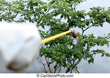 Farmer spraying insecticide on chilli plant