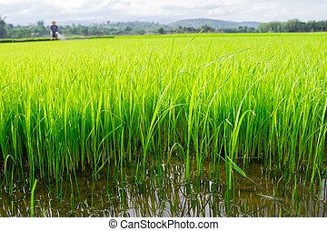 Farmer spraying pesticide on rice field