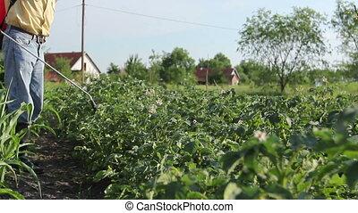 Farmer sprinkles potatoes with sprayer, rows of potato...