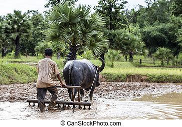 farmer, szántás, egy, mező, használ, egy, bivaly, thaiföld