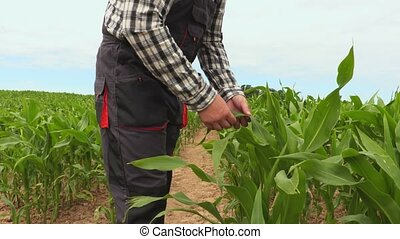 Farmer touching corn leafs