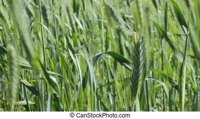 farmer touching green grain
