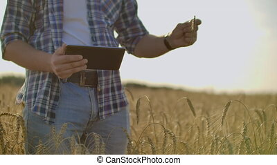 Farmer using tablet in wheat field. Scientist working in field with agriculture technology. Close up of man hand touching tablet pc in wheat stalks. Agronomist researching wheat ears.