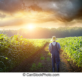 Farmer walking in corn fields at sunset - Farmer walking in ...