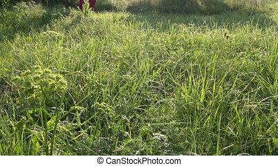 farmer walking on dewy summer grass