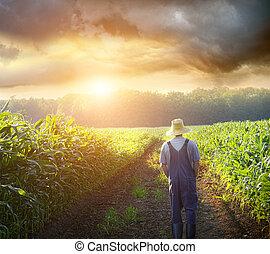 farmer, wandelende, in, koren, velden, op, ondergaande zon