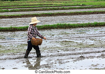Farmer was sowing paddy for rice cultivation.