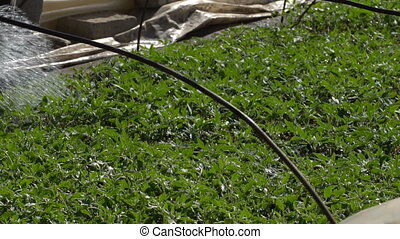 Farmer watering tomato seedlings - The farmer watering the...