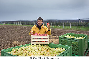 Farmer with apples in crates in orchard