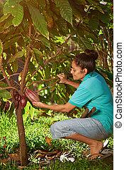 Farmer with big cacao pod in tree america plantation