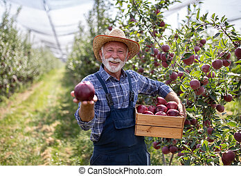 Farmer with crate of red apples in modern orchard