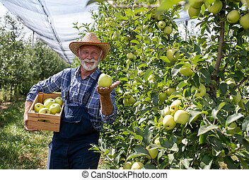 Farmer with crate of yellow apples in modern orchard