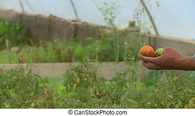 Farmer With Picked Greenhouse Tomatoes, Bolivia