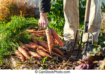 Farmer with pitchfork standing near his carrot harvest and ...