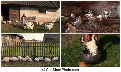 Farmer woman feed broiler and pluck feather. Clip collage. -...