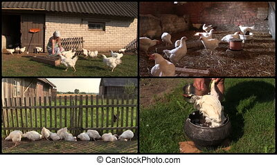 Farmer woman feed broiler and pluck feather. Clips collage....