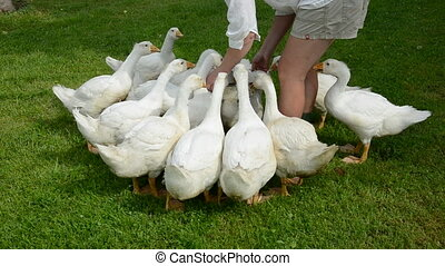 farmer woman feeding white gooses