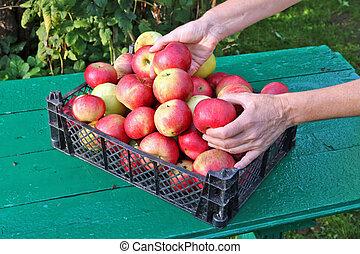 Farmer woman separate apples in plastic box