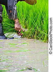 farmer working planting rice in farm of Thailand southeast...