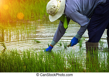 Farmers are planting rice in a rice field.