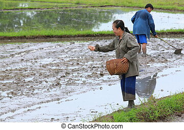 Farmers are sowing paddy for rice cultivation.