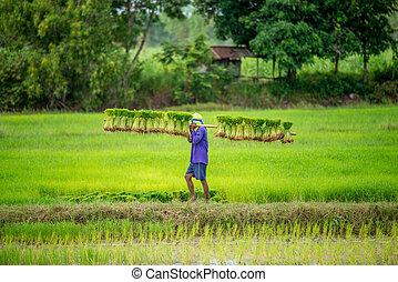 farmers bearing the seedlings in rice field