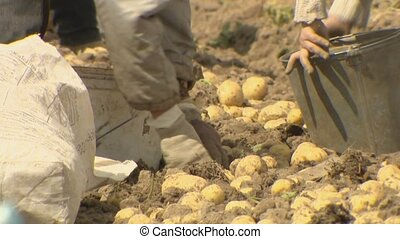 Farmers dig potatoes in their fields. Natural product ...