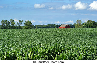 Corn crop with farm in background and blue sky.