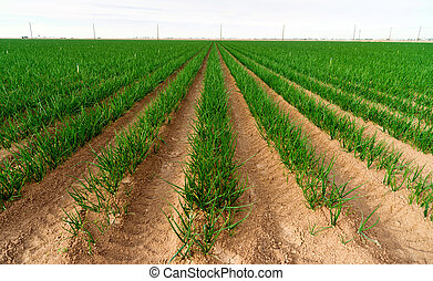 Farmer's Field Green Onions California Agriculture Food...
