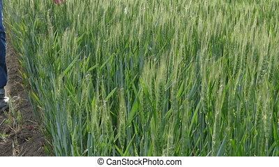 Farmers hand touching wheat
