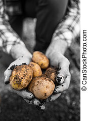 Farmers hands showing freshly dug potatoes in selective ...