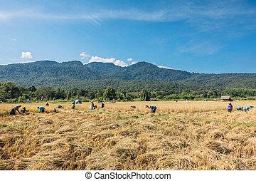 Farmers harvest rice.