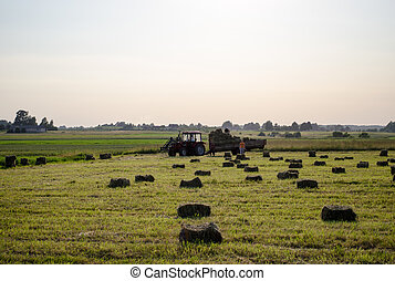 farmers load dried hay straw bales to tractor