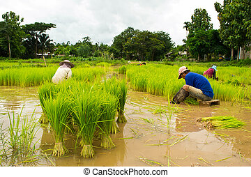 Farmers planting rice