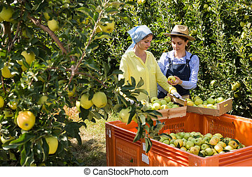 Farmers putting bruised apples in crate